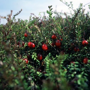 Cranberries am Strauch