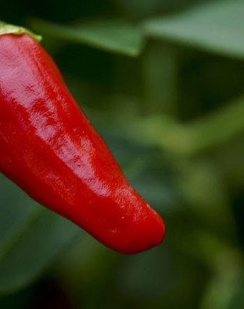 Chili Schote