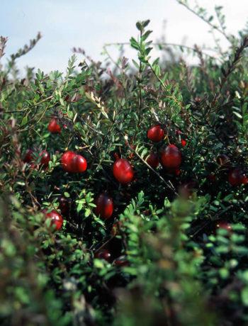 So wachsen Cranberries in den USA und Kanada