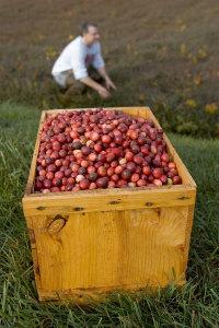 Cranberries im Korb