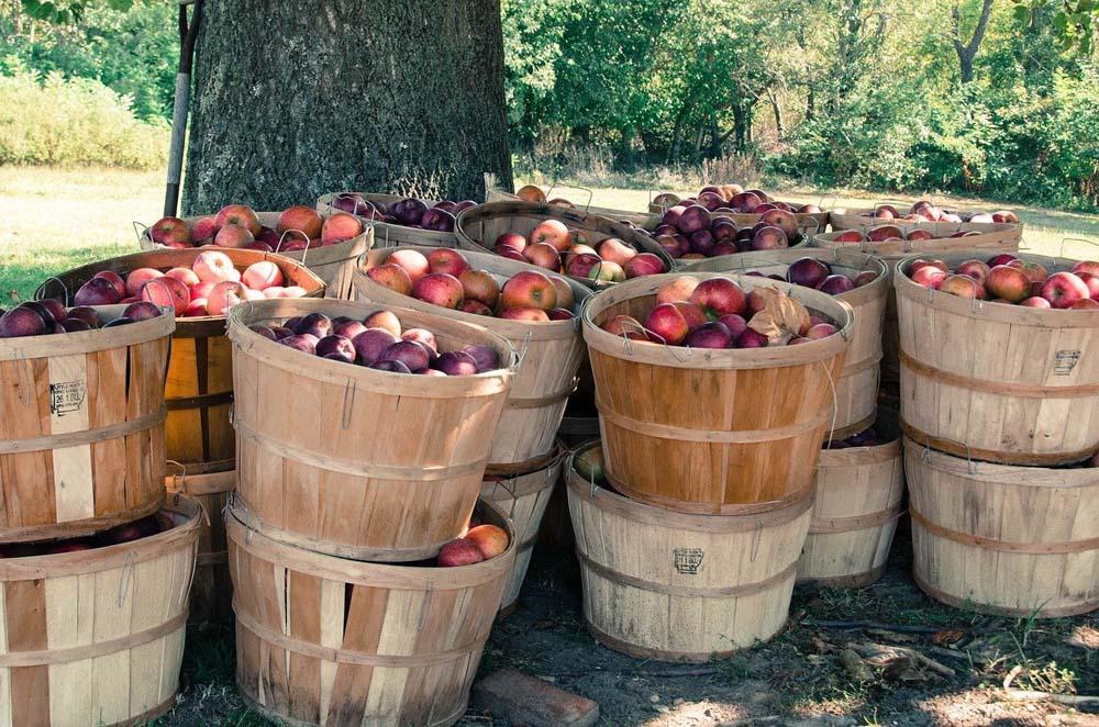 Apfelernte in den USA