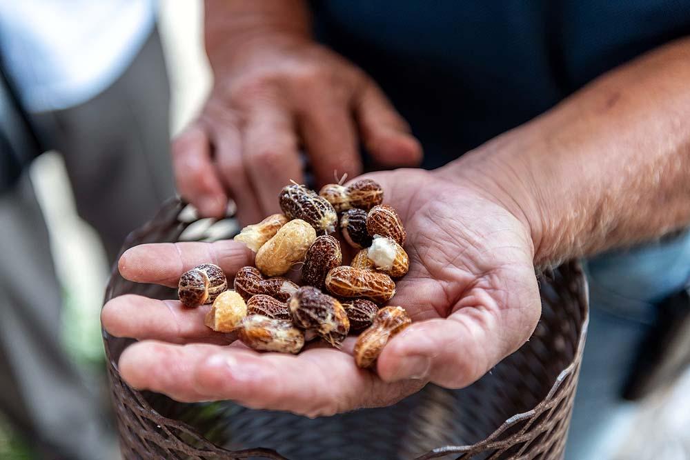 Erdnüsse nach der Ernte